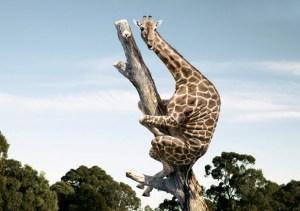 giraffe climbing tree
