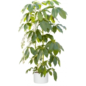 plante-schefflera-arboricola-pot-synthetique